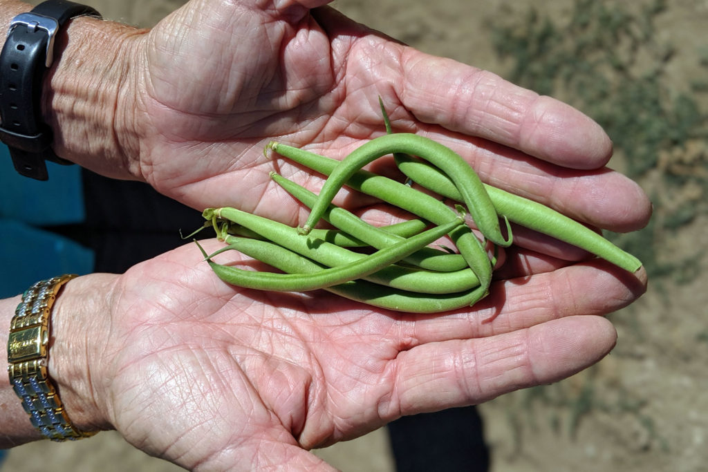 Freshly Picked Talley Farm Green Beans